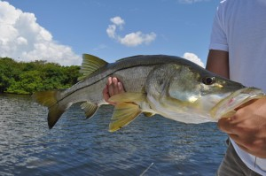 Snook caught with Captain Jason Dozier