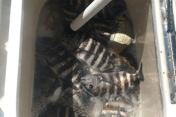 SHeepshead caught in Tampa Bay