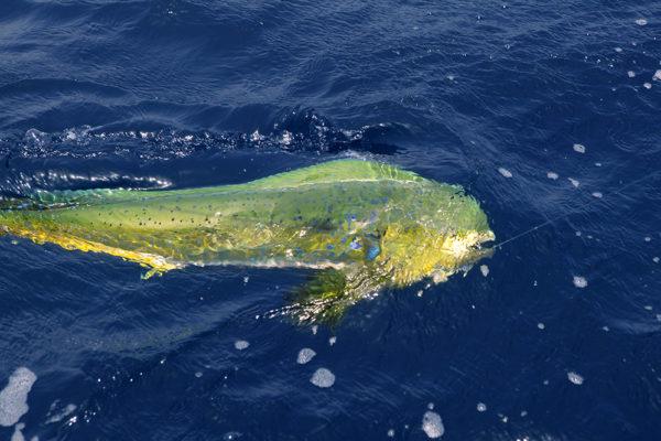 fishing-for-mahi-tampa