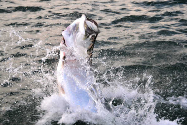 a picture of a tarpon jumping after being hooked by a fisherman in tampa bay