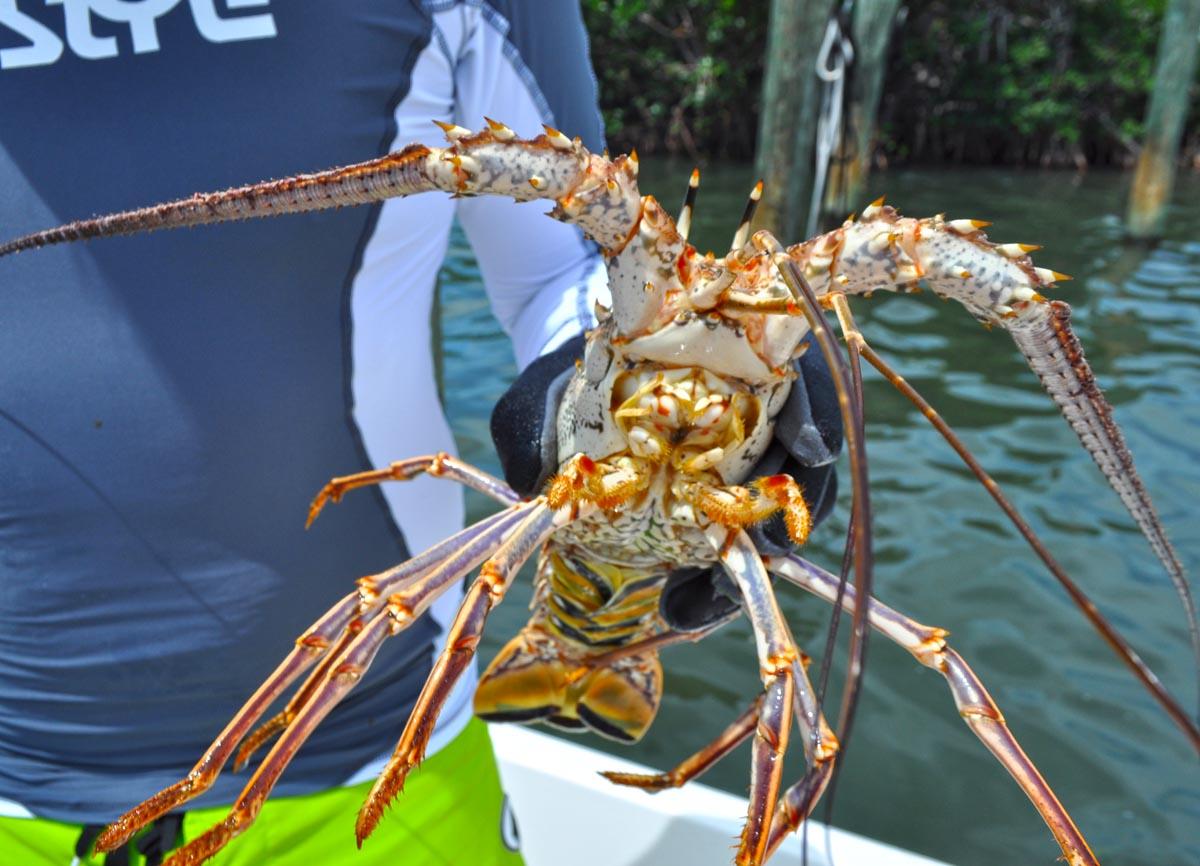 florida lobstering